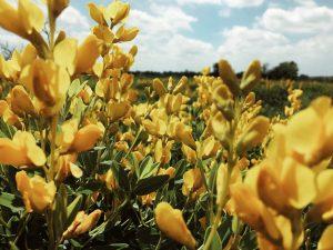 yellow flowers at sneed prairie